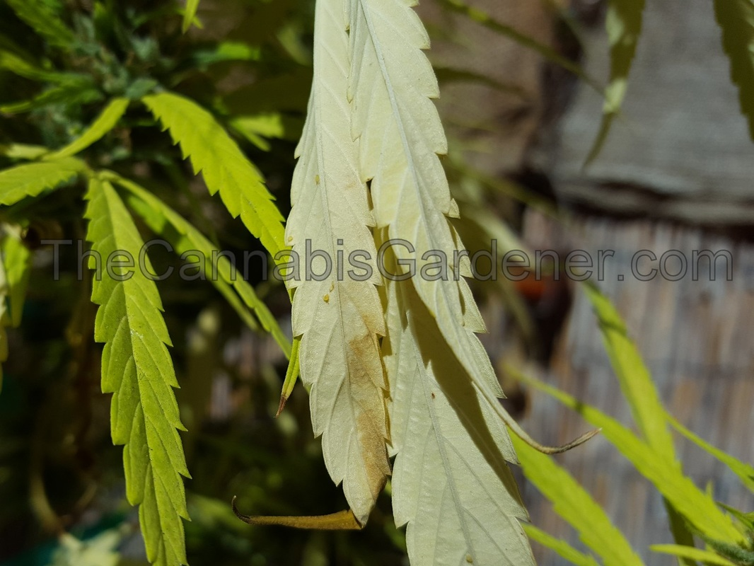 Aphids on the underside of a cannabis leaf