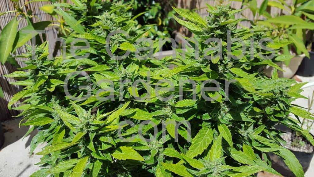Flowering cannabis plants in an outdoor setting