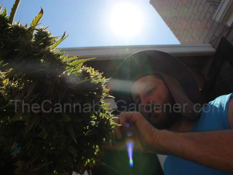 Gardener inspecting his cannabis plant