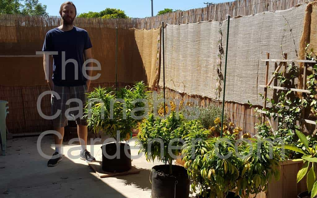 The Cannabis Gardener with three outdoor cannabis plants in pots